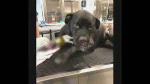 100 Truck Dog Is Recovering After Being Dragged Behind A Truck For At Least A
