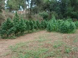 recolte cannabis exterieur date la culture de cannabis en pleine terre du growshop alchimia