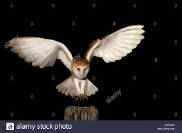 Hunting Common Barn Owl (Tyto Alba) Landing On Fence Pole In Field ... Barn Owl Landing Spread Wings On Stock Photo 240014470 Shutterstock Barn Owl Landing On A Post Royalty Free Image Wikipedia A New Kind Of Pest Control The Green Guide Fence Photo Wp11543 Wp11541 Flight Sequence Getty Images Imageoftheday By Subject Photographs Owls Kaln European Eagle Coming Into Land Pinterest Pictures And Bird