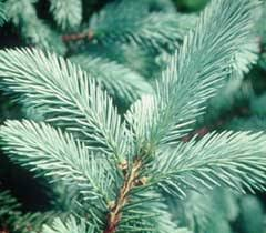 Christmas Tree Species Usa by Mail Order Vermont Christmas Trees Learn The Tree Types Then Order