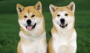 Do Akita Dogs Shed Hair by Akita Breed Information
