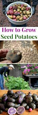 How To Grow Seed Potatoes {Start To Finish} - One Hundred Dollars ... Texas Garden The Fervent Gardener How Many Potatoes Per Plant Having A Good Harvest Dec 2017 To Grow Your Own Backyard 17 Best Images About Big Green Egg On Pinterest Pork Grilled Red Party Tuned Up Want Organic In Just 35 Vegan Mashed Potatoes Triple Mash Mashed Pumpkin Cinnamon Bacon Sweet Gardening Seminole Pumpkins And Sweet From My Backyard Potato Salad Recipe Taste Of Home
