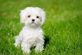 Short Haired Dogs That Shed The Most by 10 Dogs That Don U0027t Shed Most Popular Non Shedding Dogs Omg