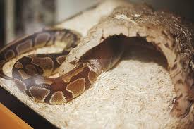 slithering out of her skin photographs of a ball python shedding