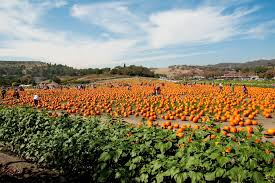 Pumpkin Patch College Station 2014 by Pumpkin Patch At Cal Poly U0027s Kellogg Ranch Nancy Orozco Blog