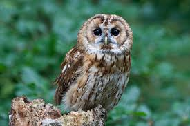 Owl Species List - A-Z Owls Watch The Secret To Why Barn Owls Dont Lose Their Hearing 162 Best Owls Images On Pinterest Barn And Children Stock Photos Images Alamy Owl 10 Fascating Facts About Species List Az 210 Birds Drawing Photographs Of Cave By Tyler Yupangco 312 Beautiful Birds
