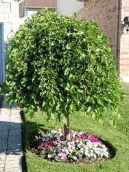 Evergreen Chaparral Weeping Mulberry Tree Fruitless Full Sun Ok