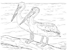 Pelicans American White Birds Coloring Pages