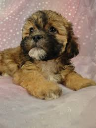 Small Dogs That Dont Shed Uk by 14 Small Dogs That Dont Shed Uk Small Dogs Breeds Non
