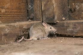 maison souris mus musculus mammifère unique dans le hangar