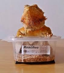 Bearded Dragon Shedding Behavior by Bearded Dragon Care March 2014