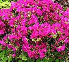 azalée japonaise pourpre purpurtraum ou azalea japonica