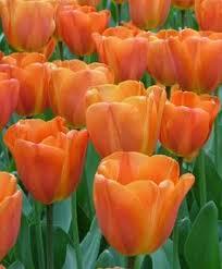 darwin tulip bulbs apeldoorn elite tulipa fall bulbs from