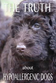 Do Hypoallergenic Dogs Shed As Puppies by Hypoallergenic Dogs The Facts About Non Shedding Breeds