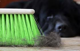 Sheltie Shedding In Clumps by Excessive Shedding In Your Dog Petcha