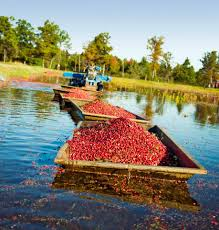 Central Wisconsin Pumpkin Patches by Wisconsin U0027s Fall Cranberry Harvest Midwest Living
