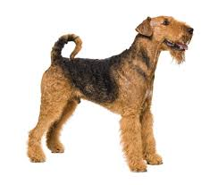 Do Wheaten Terrier Puppies Shed by 9 Perfect Pooches Dogs That Don U0027t Shed Practical Paw The Dog