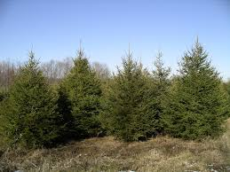 Plantable Christmas Trees Columbus Ohio by Smith Evergreen Tree Farm And Nursery