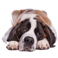 how bad do st bernards shed advice from real st bernard owners