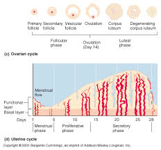 Uterus Lining Shedding Period by 13 Uterine Wall Shedding During Period Ch27 Female