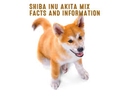 Do American Akitas Shed by Shiba Inu Akita Mix U2013 Facts And Information My First Shiba Inu