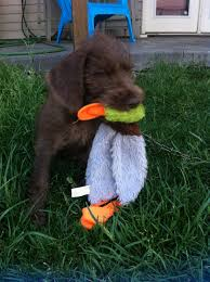 Wirehaired Pointing Griffon Non Shedding by Hank Our Pudelpointer Hunting Dog U0026 Non Shedding Family Dog 8
