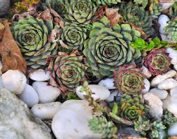 entretien plante grasse d interieur succulente d intérieur et d extérieur joubarbe et echeveria