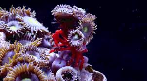 Decorator Crab Tank Mates by Oceanstuff Cyclocoeloma Tuberculata Also As The Decorator