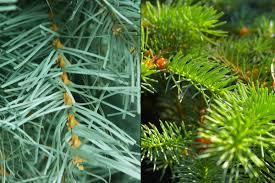 7 Douglas Fir Artificial Christmas Tree by Real Or Artificial Christmas Tree Which One U0027s The Better Deal