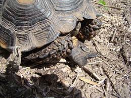 Turtle Shell Not Shedding Properly by Turtle Shell Wikipedia