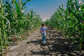 Tapia Brothers Pumpkin Patch by Get Lost In A Corn Maze Los Angeles Has Plenty To Choose From