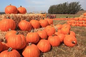 Peter Pumpkin Patch Petaluma by Peter Pumpkin Patch Petaluma Ca Hayridescom