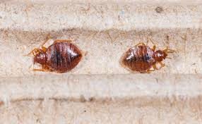 Bugs that Look Like Bed bugs and How to Identification Bed bugs NvH