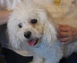 Do Jackie Bichon Shed by Buffalo Pug U0026 Small Breed Rescue Inc Adopted
