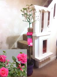 8ft Christmas Tree Ebay by 1 8ft 2ft Blue Moon Purple Rose Tree Pot Garden Outdoor House