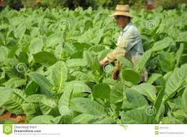 Download Man Working On Tobacco Fields In Cuba Editorial Photography