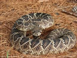 Venomous Eastern Diamondback Rattlesnake In Backyard - YouTube Backyard Snakes Effective Wildlife Solutions Snakes And Beyond 65 Best Know Them Images On Pinterest Georgia Of Louisiana Department Fisheries Southern Hognose Snake Florida Texas Archives What Is That 46 The States Slithery Species Nolacom Scarlet Kingsnake Cottonmouth Eastern Living Alongside Idenfication Challenge The Garden Or Garter My Species List New Engdatlantic