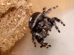 Spirit Halloween Jumping Spider by 100 Halloween Spider Images 81 Best Spider Haunt Ideas