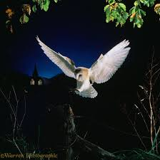 Barn Owl Landing On Fence Post Photo - WP11543 Barn Owl Landing Spread Wings On Stock Photo 240014470 Shutterstock Barn Owl Landing On A Post Royalty Free Image Wikipedia A New Kind Of Pest Control The Green Guide Fence Photo Wp11543 Wp11541 Flight Sequence Getty Images Imageoftheday By Subject Photographs Owls Kaln European Eagle Coming Into Land Pinterest Pictures And Bird