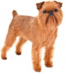 top 30 dogs that don t shed small medium and large breeds pet