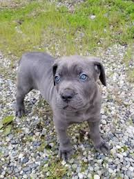 Cane Corso Italiano Shedding by Our Blue Cane Corso Puppy Bane Steals Hearts Http Ift Tt