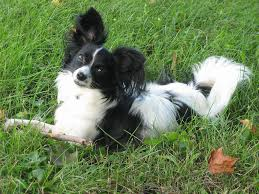 Quiet Small Non Shedding Dog Breeds by The Sweetest And Scariest Small Dog Behaviors U2014which Breed Is