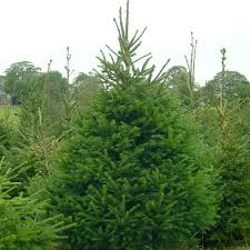 Christmas Tree 10ft by Norway Spruce Above 10ft Real Christmas Trees London