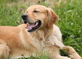 shedding dogs understanding grooming why a dog s hair is important