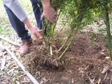 entretien des bambous en pot la culture du bambou en terre au jardin en pot en terrasse