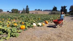 Pumpkin Patch Santa Rosa by Marin And Sonoma Pumpkin Patches 2017 Marin Mommies