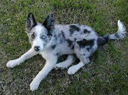 do blue heeler border collies shed best 25 border collie merle ideas on border collie