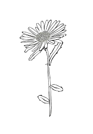 Aster Flower Picture Of Coloring Pages