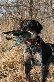 breed profile the french brittany gun dog magazine