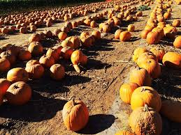 Pumpkin Patch Houston Oil Ranch by Best Pumpkin Patches In Southern California Cbs Los Angeles